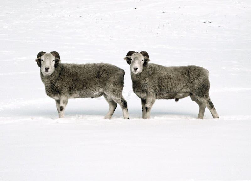 Двойные овцы стоковая фотография
