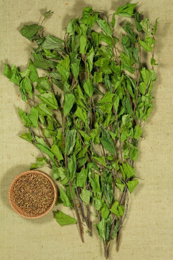 двухчленной Сухие заводы Фитотерапия, phytotherapy целебные травы стоковые изображения