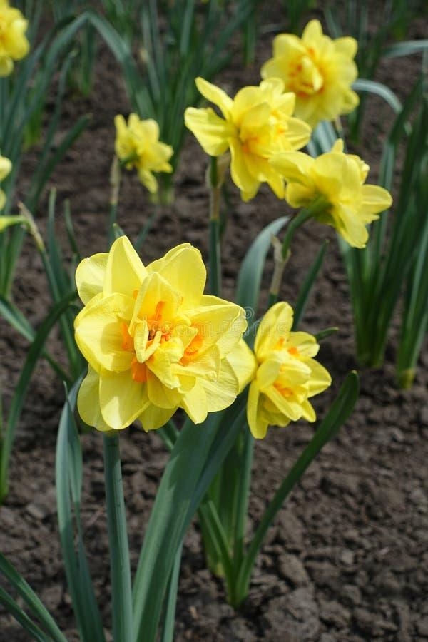 Двух-зацветенные желтые и оранжевые daffodils в саде стоковая фотография rf