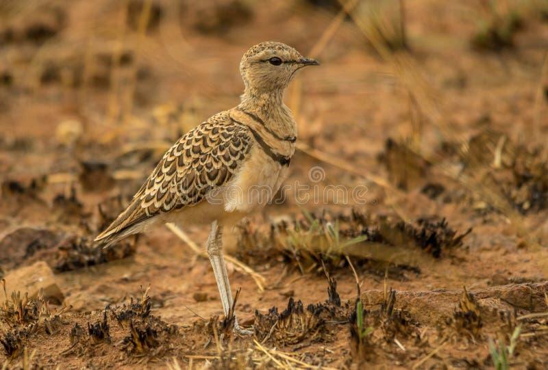 Двух-соединенное courser птица в южно-африканском ландшафте стоковые фото