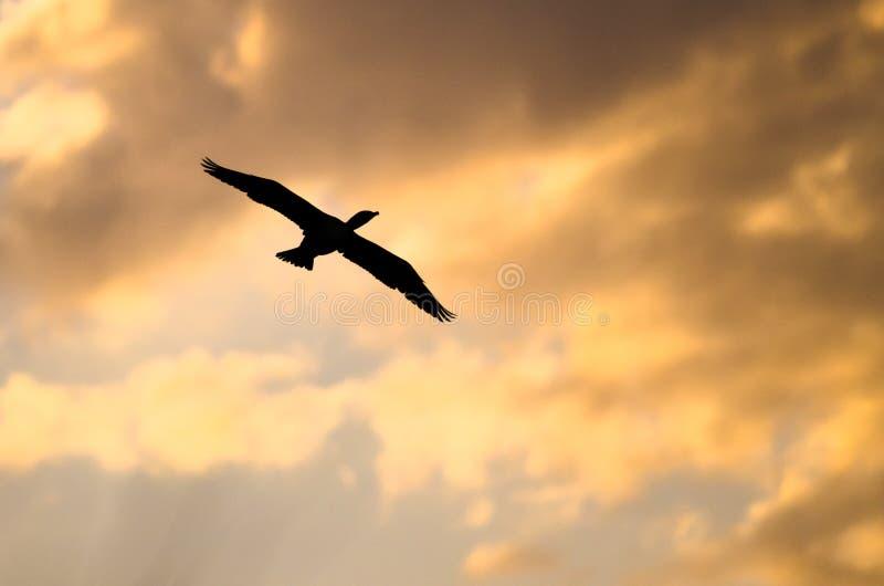 Двух-Crested баклан Silhouetted в небе захода солнца по мере того как оно летает стоковое фото rf