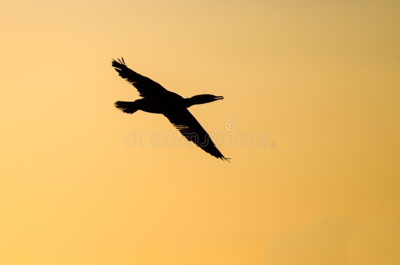 Двух-Crested летание баклана в живом небе захода солнца стоковое изображение rf