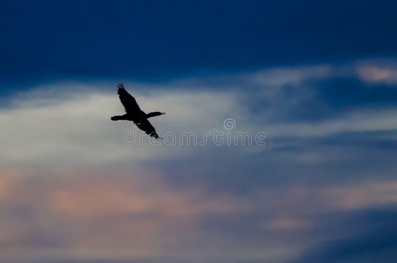 Двух-Crested летание баклана в небе захода солнца стоковое изображение rf