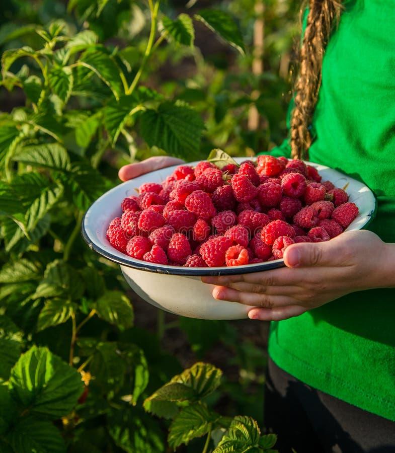 Девушка выбирает поленику в саде плодоовощ в шар стоковые фотографии rf