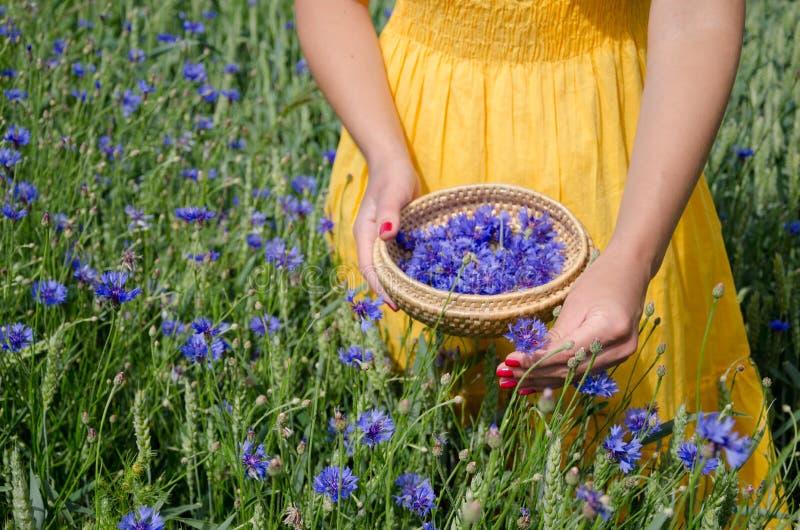 Девушка в желтых руках платья выбирает травы cornflower стоковая фотография rf