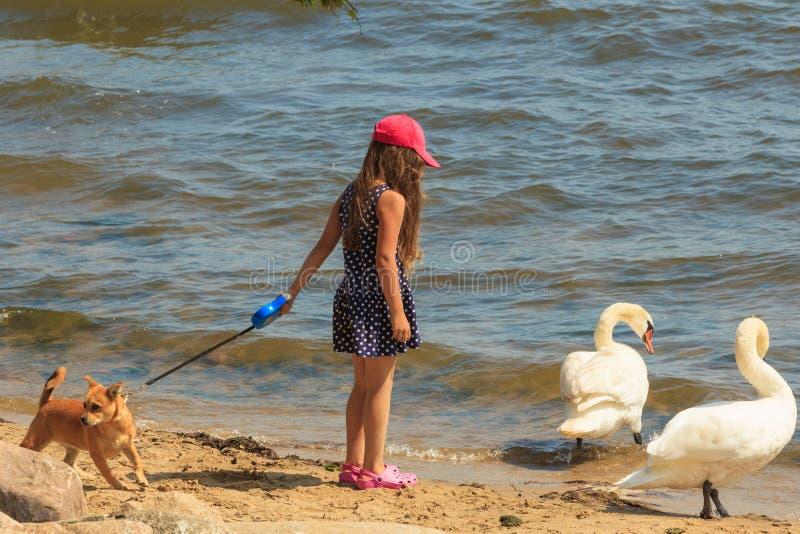 Девушка играя с взрослым лебедем стоковое фото
