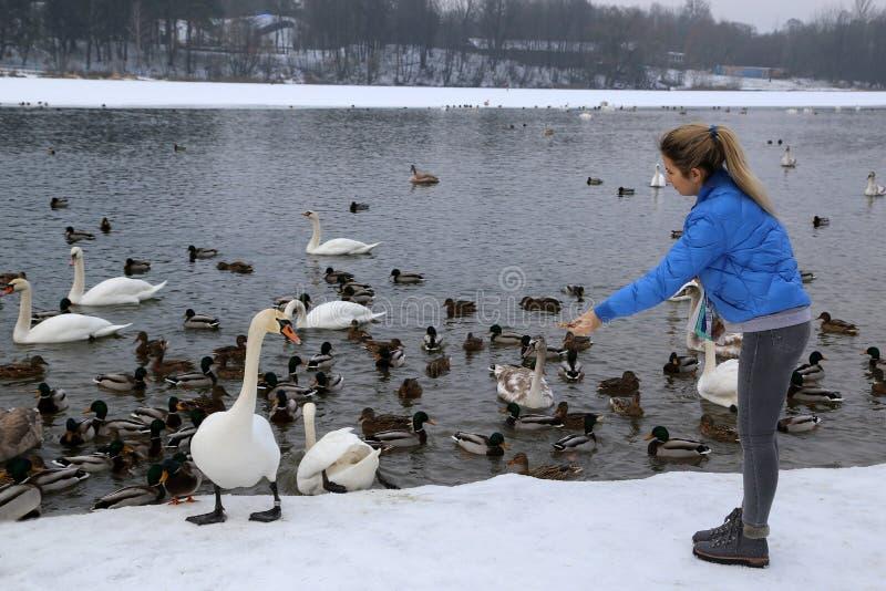 Девушка кормит водоплавающую птицу на береге озера в зиме стоковое фото rf