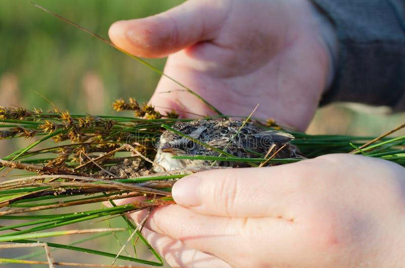 Девушка сохраняет птенца упаденного из гнезда стоковое изображение