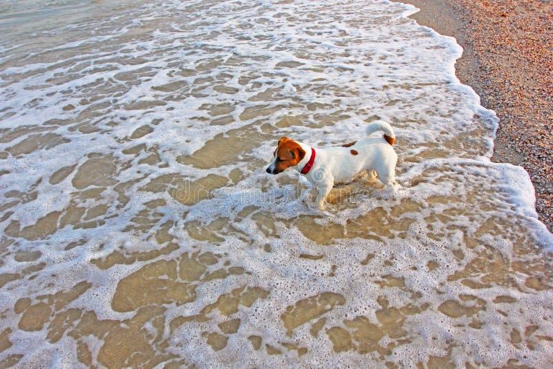 Девушка терьера Джек Рассела идет поплавать в море в волнах стоковые изображения rf
