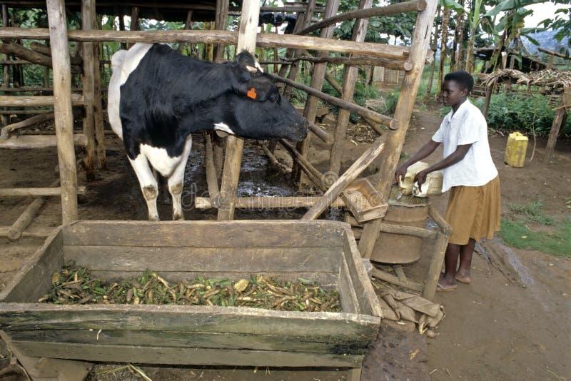 Девушка угандийца дает корову для еды и для того чтобы выпить стоковая фотография