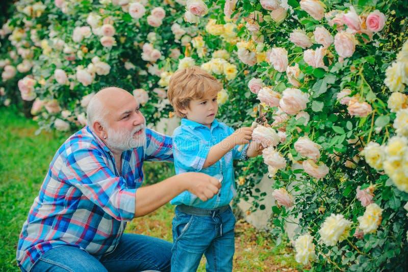 Дед и внук наслаждаясь в саде с цветками роз Старший садовник Весна и хобби Земля цветка стоковое фото