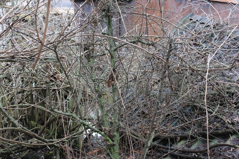 Дезертированный сад Overgrown виноградины Лоза в мхе Сад с бочонком для мочить Старый сад стоковая фотография rf