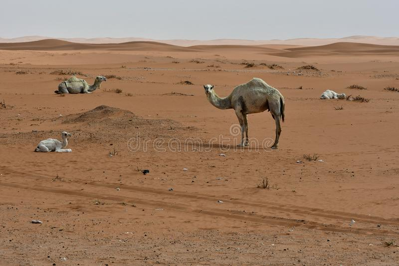 Дезертируйте песок и свободные верблюдов, в сердце Саудовской Аравии на пути к Эр-Рияду стоковая фотография