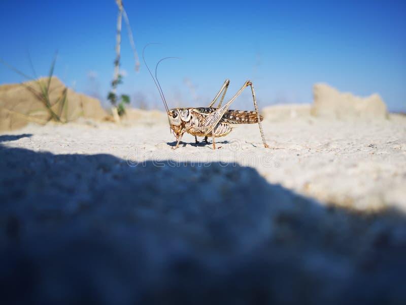 Дезертируйте gregaria Schistocerca саранчи сидя на серой поверхности утеса стоковое фото