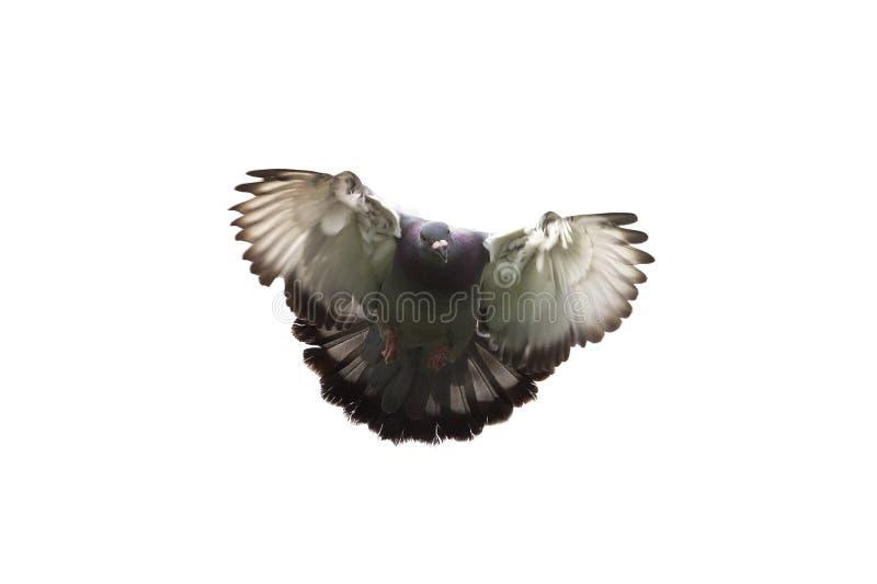 Действие самонаводя птицы голубя причаливая к приземляться на землю стоковое изображение