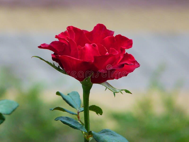 Действительно красивая maroon роза в саде стоковые изображения
