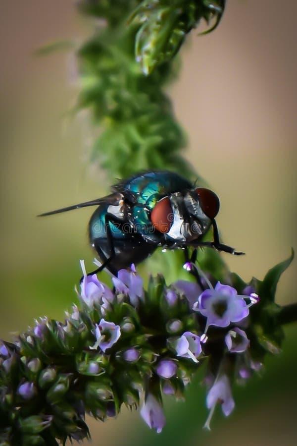 Действовать как пчела Муха на пустыне цветка menta стоковые фотографии rf