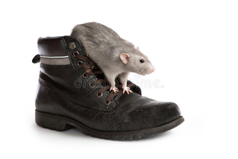 Декоративная крыса в старом ботинке на белой изолированной предпосылке, любимец dumbo стоковая фотография