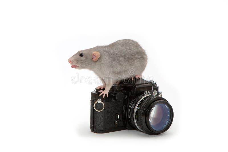 Декоративная крыса сидя на старой камере на белой изолированной предпосылке, любимец dumbo стоковые изображения rf