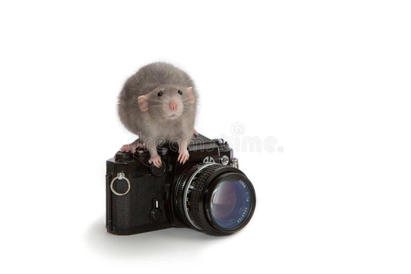 Декоративная крыса dumbo сидя на старой камере на белой изолированной предпосылке Мышь, любимец стоковые фото
