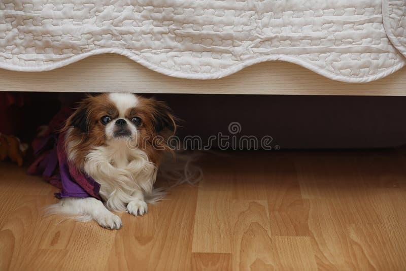 Декоративная порода собак Малая домашняя собака Собака под th стоковая фотография