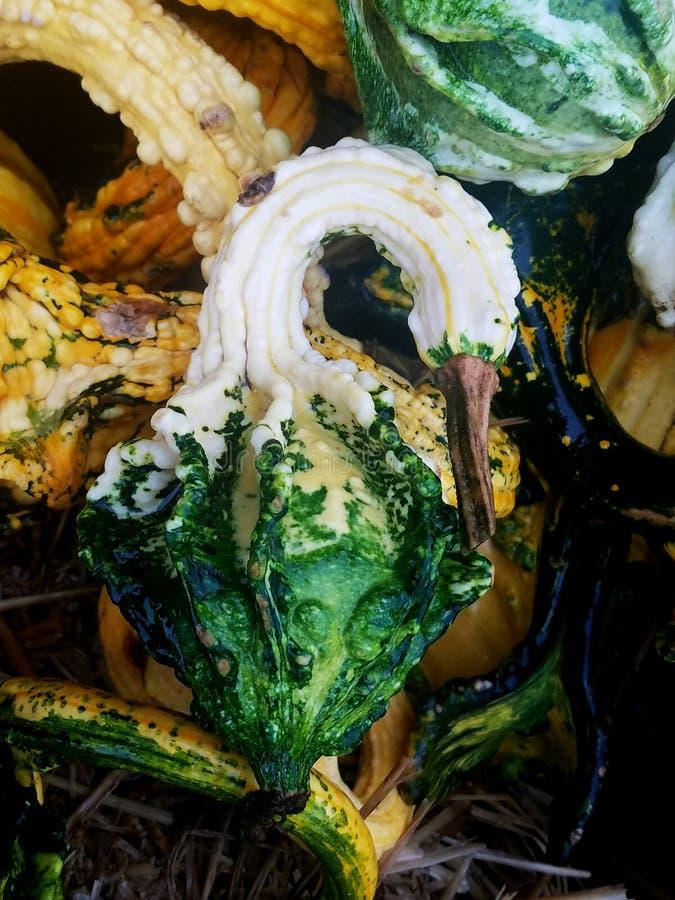 Декоративная тыква зеленого и белого лебедя Necked против предпосылки больше тыкв стоковые изображения rf