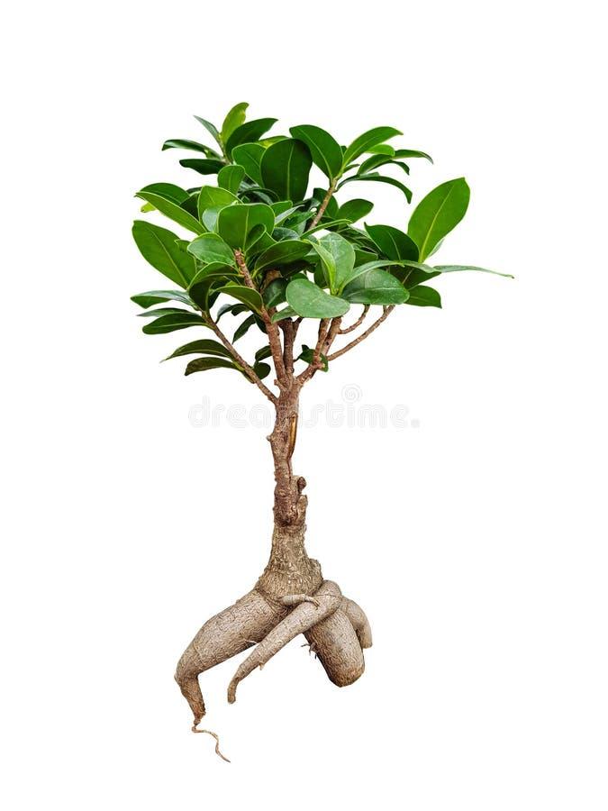 Декоративное дерево женьшени фикуса на белой предпосылке стоковая фотография rf