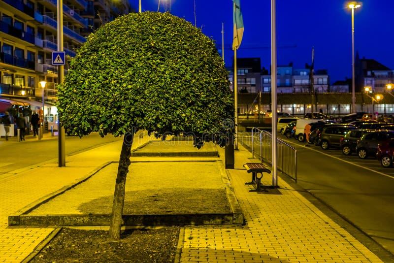 Декоративное дерево подрезало округлую форму, естественные украшения города, формировать дерева beginner стоковые изображения rf