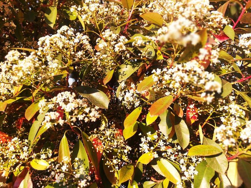 Декоративное дерево цветения с белыми цветками Красные желтые оранжевые зеленые листья стоковое изображение rf