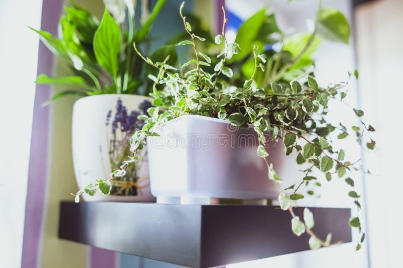 Декоративное зеленое комнатное растение стоковая фотография