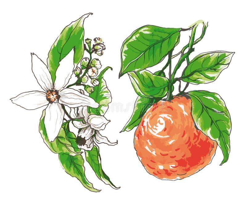 Декоративное оранжевое цветение цветка иллюстрация штока
