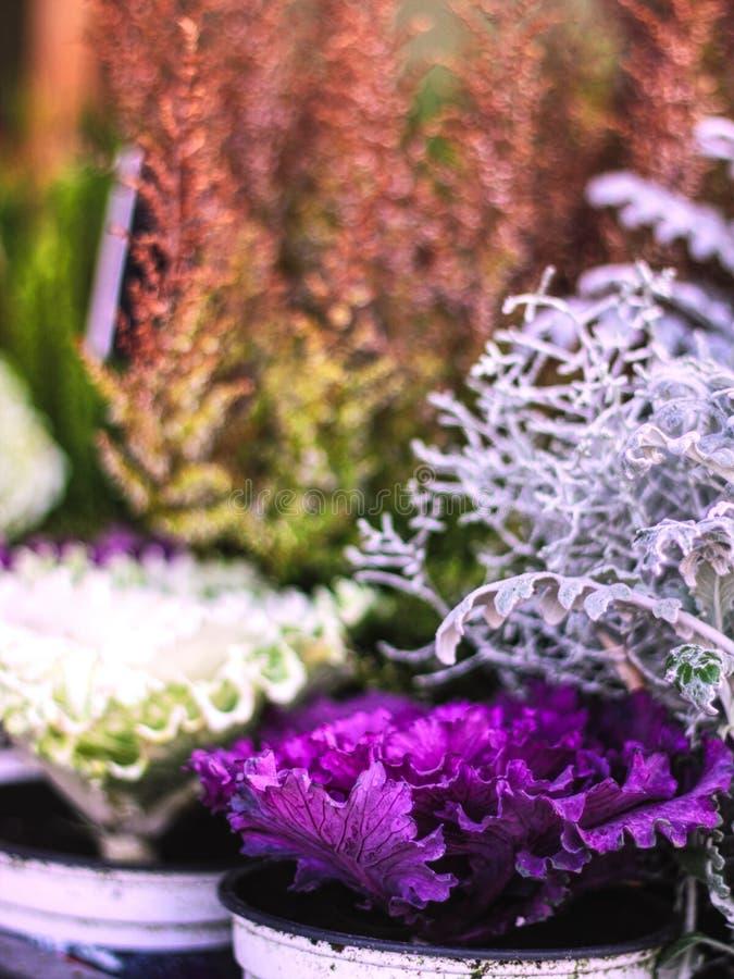 Декоративные белые & пурпурные орнаментальные капусты перед цветочным магазином стоковые фотографии rf