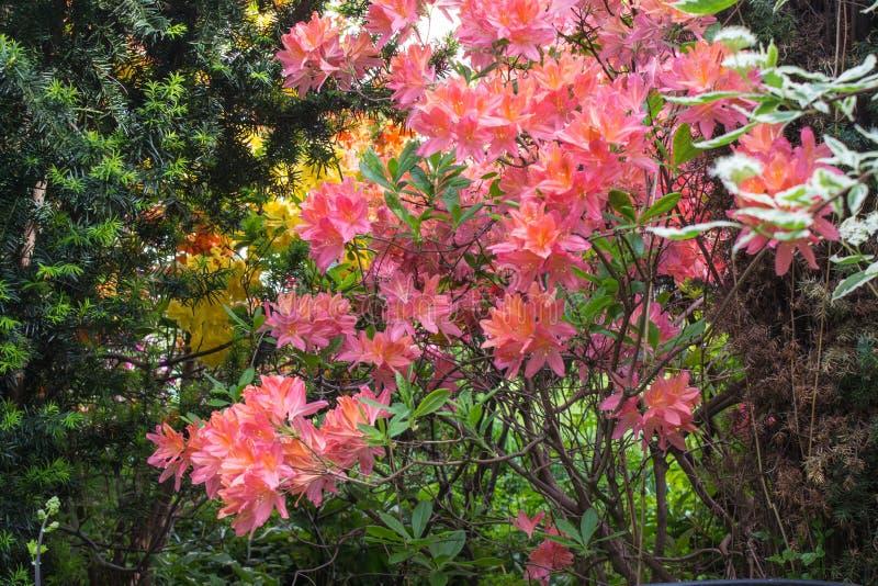 декоративные валы кустарники и цветки в саде: рододендрон, папоротники, орхидеи стоковые изображения rf