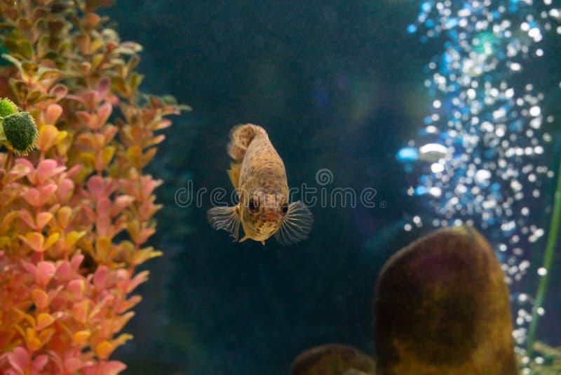 Декоративные заплывы рыб в аквариуме стоковое фото rf