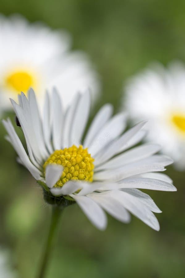 Декоративные цветки маргаритки стоковое изображение