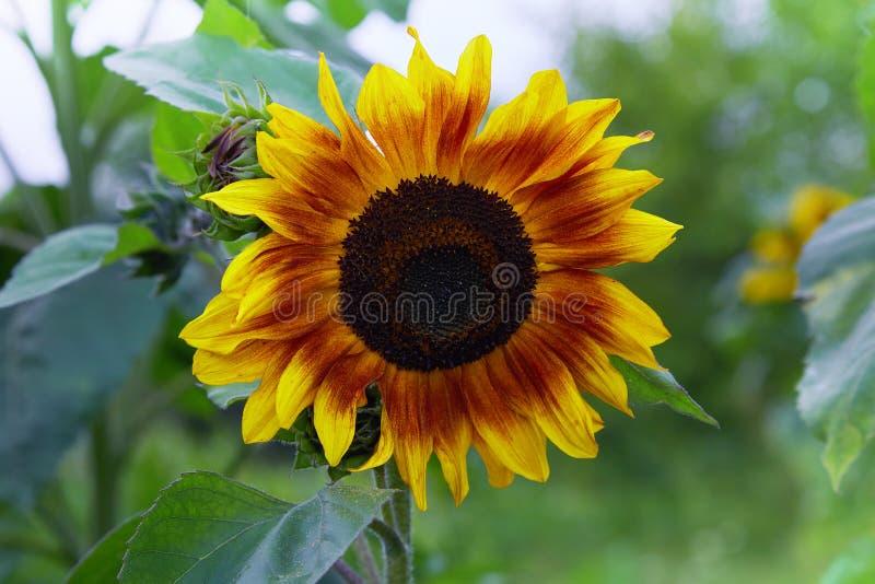 Декоративный желтый и коричневый солнцецвет зацветая летом в саде стоковое фото rf