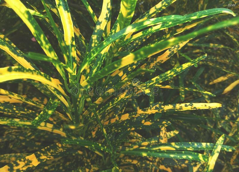 Декоративный завод с красивыми листьями - карлик дома пятна Pictum Croton стоковые фото