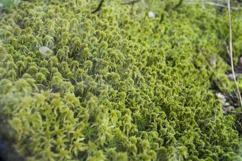 Декоративный и небольшой мох в terrarium для млекопитающих Ярко цвет зеленого цвета Весна Заводы и ботаника Природа стоковое фото rf