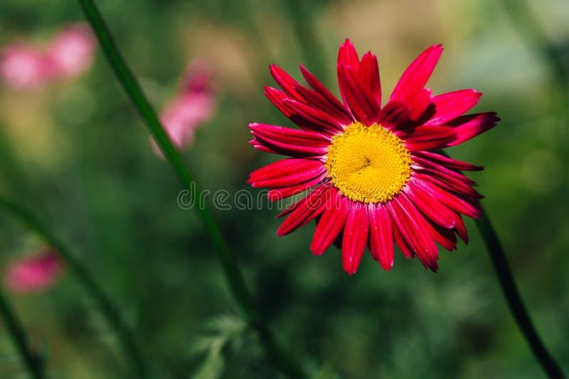 Декоративный красный цветок маргаритки на зеленой предпосылке стоковое изображение