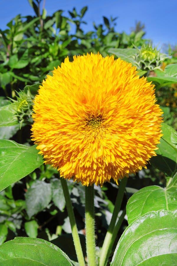 Декоративный крупный план солнцецвета на зеленой предпосылке сада стоковые фотографии rf