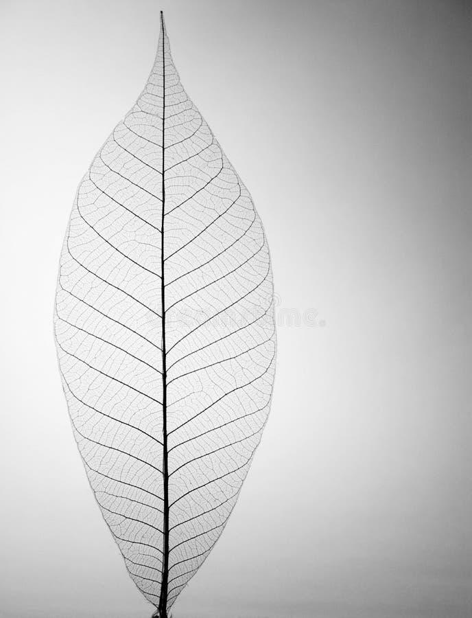 декоративный скелет листьев стоковое фото rf