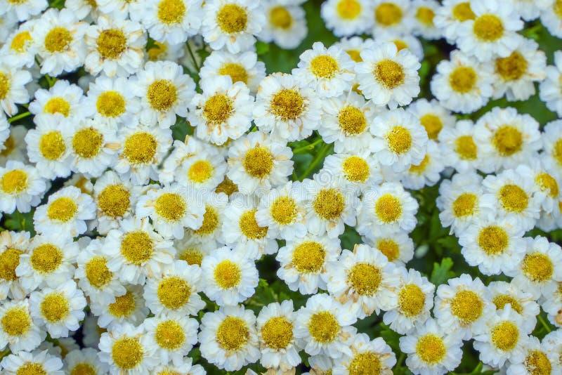 Декоративный цветок маргаритки стоковое фото rf