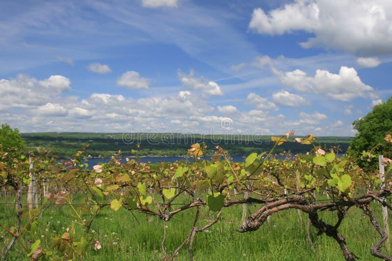делать вино виноградника стоковые фотографии rf