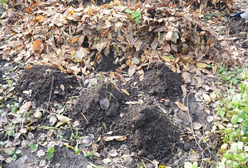 Делать укрытие для предохранения от зимы роз с грязью и упаденными листьями Изолируйте розы на зима стоковое изображение