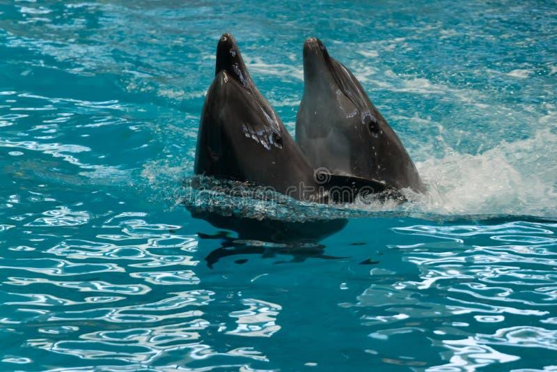 2 дельфина в конце стоковые фотографии rf
