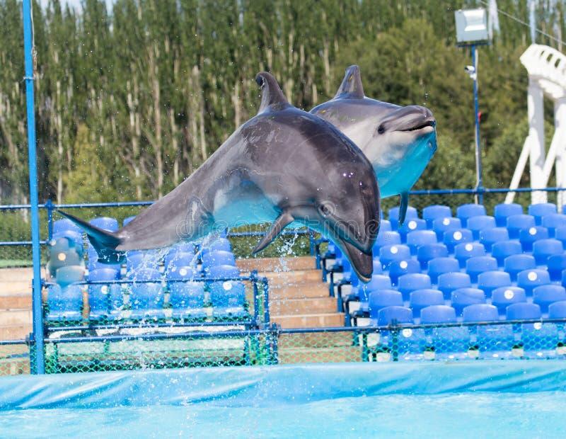 2 дельфина скача в бассейн стоковые изображения rf