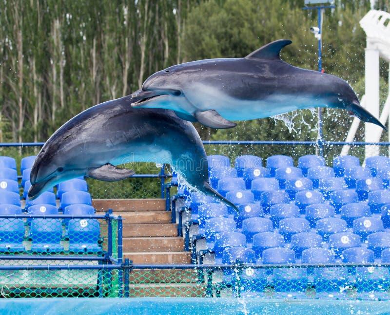 2 дельфина скача в бассейн стоковое изображение