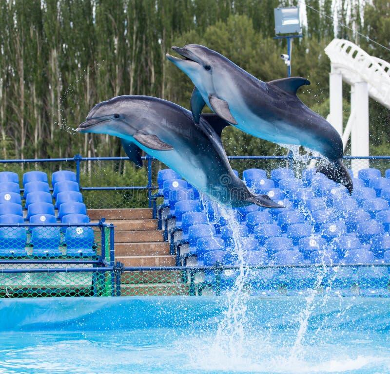 2 дельфина скача в бассейн стоковая фотография