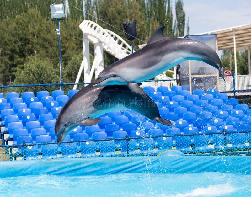 2 дельфина скача в бассейн стоковое фото
