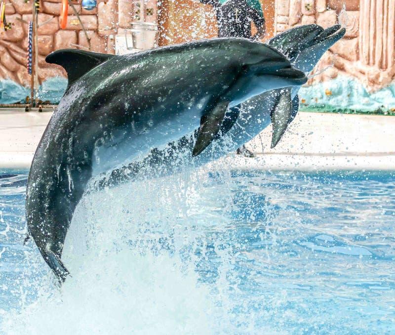 2 дельфина скача от бассейна в парке стоковые фотографии rf